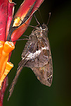 White Striped Longtail Skipper, Chioides catillus, Costa Rica, perched on helicon flower, jungle, .Central America....