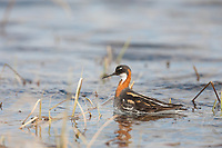 Red-necked phalarope, tundra pond, National Petroleum Reserve, Alaska.