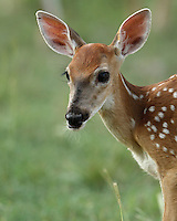 Whitetail fawns are born in May or June. They weight 6 to 8 pounds at birth. Fawns spend their early days clinging to their mothers, bonding and learning about the big new world.