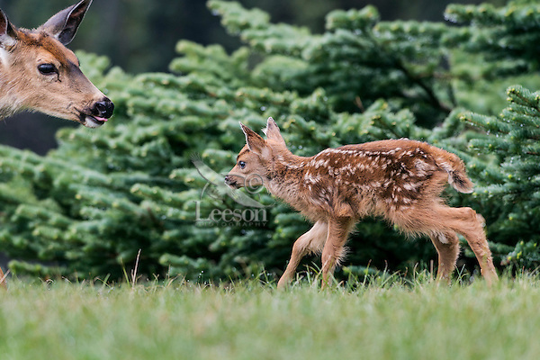 Columbian black-tailed deer (Odocoileus hemionus columbianus) fawn approaching mom.  Pacific Northwest.  Summer.