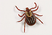 American Dog or Wood Tick.