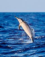 A jumping Hawaiian spinner dolphin (Stenella longirostris), Kona, Big Island.