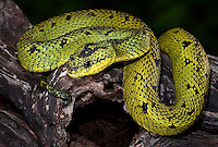 Sedge Viper (Atheris nitschei), captive.