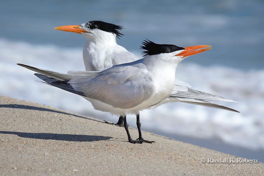 Royal Terns, on the beach at Canaveral National Seashore, Merritt Island, Florida