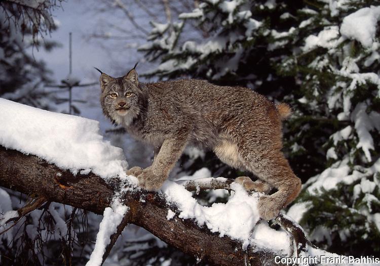 lynx on tree in snow in Feb.
