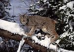lynx on tree in snow