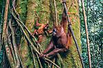 Sumatran orangutans, Indonesia