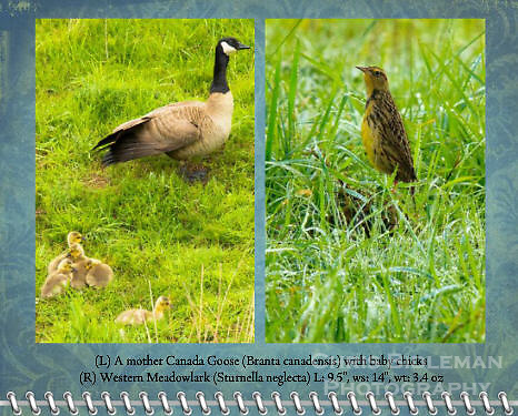 "March of the 2012 Birds of a Feather Calendar.  These photos are called ""Proud Mother Canada Goose"" and ""Western Meadowlark in wet grass"" and shows a Western Meadowlark (Sturnella neglecta)  is seen standing tall and upright in a grassy field with morning dew glistening in the sun at the Ridgefield National Wildlife Refuge"