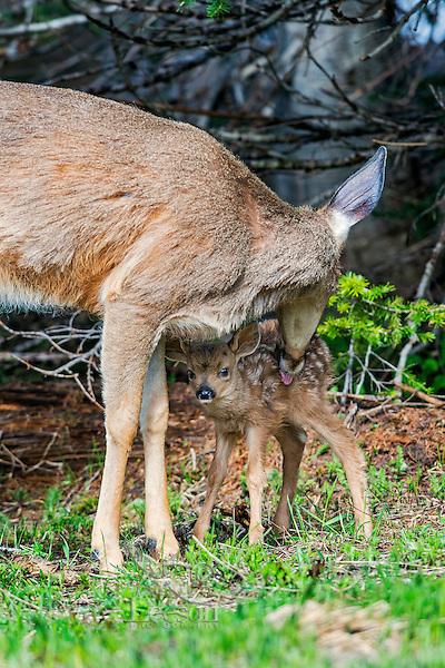 Columbian black-tailed deer (Odocoileus hemionus columbianus) doe washing/cleaning young fawn. Pacific Northwest.  Summer.