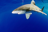 Oceanic Whitetip Shark (Carcharhinus longimanus), Big Island, Hawaii, USA, Pacific Ocean