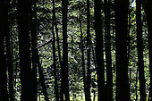 looking through forest, green foliage thrugh dark tree trunks