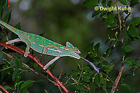 CH38-612z Female Veiled Chameleon tongue flicking to catch insect prey, Chamaeleo calyptratus