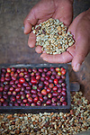Shade grown and hand harvested coffee at El Trapiche Farm on Isla Santa Cruz, home to the Charles Darwin research station.