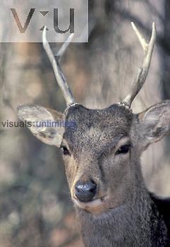 Sitka Deer head (Cervus nippon), an introduced species, Chincoteague, Virginia, USA.