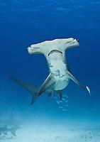 RR1756-Dv2. Great Hammerhead Shark (Sphyrna mokarran), feeds on stingrays on the sand bottom, broad head has special sensory cells on underside. Bahamas, Atlantic Ocean.<br /> Photo Copyright &copy; Brandon Cole. All rights reserved worldwide.  www.brandoncole.com