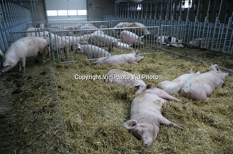 Foto: VidiPhoto..BARNEVELD - Varkenshouder Blankestijn uit Barneveld heeft een gloednieuwe varkenstal in gebruik genomen; een variant tussen een biologische uitloopstal en een gangbare mesterij. Blankestijn heeft het nieuwe systeem samen met Rijnvallei uit Wageningen bedacht. Het is eigenlijk een ouderwetse potstal in een hypermodern jasje, waarbij de varkens op stro liggen en is voorzover bekend uniek voor Nederland. De varkensboer heeft 300 fokzeugen en 450 mestvarkens.
