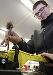 Foto: VidiPhoto<br /> <br /> SLIJK-EWIJK - Fruitteler Frederik Bunt uit Slijk-Ewijk is maandag gestart met het zelf enten van 21.000 onderstammen voor nieuwe pruimenbomen. Volgend jaar volgt nog eens eenzelfde aantal. Omdat de kwaliteit van de pruimenbomen van Nederlandse boomkwekers volgens de Betuwse teler ver onder de maat is, probeert hij het na acht jaar overleg met de kwekers nu zelf. Daarbij wordt de grootste pruimenteler van ons land geholpen door  familie en Poolse werknemers. Op de eerste entdag krijgen de mannen les van Ian Adams (55) uit Nieuw-Zeeland en zijn Europese compagnon Manuel Alisch (22) uit Duitsland met een nieuw en handig entsysteem -een mini-guillotine- waarmee zelf enten vrij simpel wordt. De beiden mannen trekken door Europa om het systeem te promoten. De ge&euml;nte stammen gaan eerst bijna twee jaar in de pot in een plastic tunnel, alvorens ze op 9 ha. nieuwe pruimenboomgaard worden geplant. Met meer pruimen en nieuwe soorten wil Bunt het pruimenseizoen verlengen naar 8-10 weken.