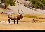 Bull Elk and Cow in Meadow, Norris Junction, Yellowstone National Park, Wyoming