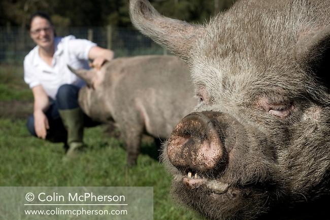 England - Cumbria - Middle White Pigs | Colin McPherson