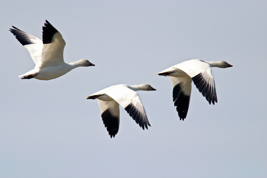 Snow Geese in flight, Fir Island, Skagit Valley, Skagit County, Washington, USA