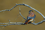 American Kestrel, Torres del Paine National Park, Chile