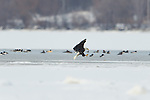 Bald Eagle Fishing on Onondaga Lake 2/5/2013