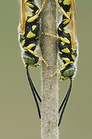 Five-banded Tiphiid Wasp (Myzinum quinquecinctum), adults resting, Sinton, Corpus Christi, Coastal Bend, Texas, USA