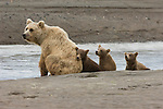 Three brown bear cubs sit on a beach with their mother beside in Lake Clark National Park, AK