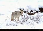 Coyote spots a Vole, Winter Hunt, Obsidian Cliffs, Yellowstone National Park, Wyoming