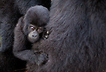 Mountain gorilla(s), Rwanda