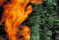 simulated forest fire showing evergreens and golden red flames. hot, burn, flames, smoke, fire management, burning. California.
