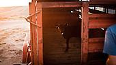 """Mead, Kansas, USA, August 2011:.Calf waiting for milk at the feedyard during a short break.  Millions of cows are gaining weight in feedyards across the region, where four huge meatpacking plants of National Beef, Cargill and Tyson slaughter and process about 20 thousand cattle a day. Kansas dominates American beef industry, by producing one quarter of all beef in the USA..(Photo by Piotr Malecki / Napo Images)..Mead, Kansas, Stany Zjednoczone, Sierpien 2011:.Cielak czeka na mleko w jednej z tuczarni bydla zwanych """"feedyards"""". W tym rejonie jest mnostwo takich tuczarni, by zaopatrywac cztery wielkie zaklady miesne nalezace do firm National Beef, Cargill i Tyson. Zaklady te przerabiaja razem okolo 20 tysiace sztuk bydla dziennie.  Stan Kansas zdominowal rynek wolowiny w Stanach Zjednoczonych, produkujac jedna czwarta calej amerykanskiej wolowiny. Amerykanski przemysl miesny jest bardzo uzalezniony od taniej sily roboczej, ktora daja emigranci..Fot: Piotr Malecki / Napo Images."""
