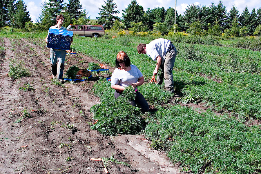 Gavin Dandy and farm interns harvest carrots at Everdale organic farm ...