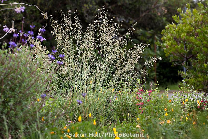 California fescue bunch grass (Festuca californica) flowering in native plant front yard garden