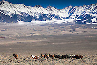 Band of mustangs roaming the high mountain valley's of Central Idaho.