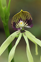 Black Orchid, the National Flower of Belize (Encyclia cochleatum), Belize