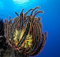 Feather Star (crinoid) with a yellow heart and delicate amber tipped black fern-like tendrils against a blue that you only find in the clearest water, Palau Micronesia. (Photo by Matt Considine - Images of Asia Collection)