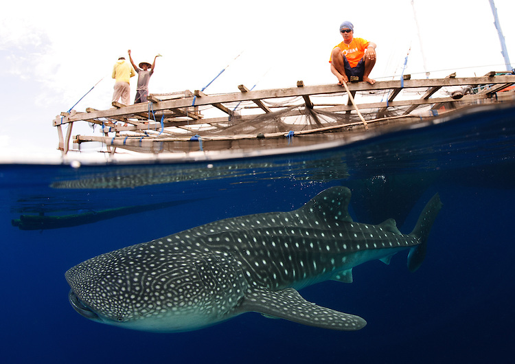 Whale sharks (Rhincodon typus) gather under fishing platforms to feed from fishermens nets, Papua, Indonesia
