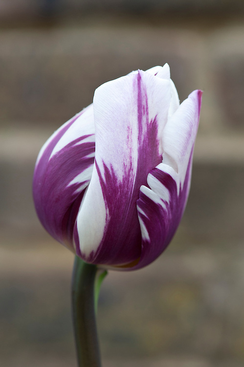 Tulipa 'Blueberry Ripple', mid April. Triumph Group.