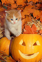 Gold tabby kitten climbs on jack o lantern, halloween, fall, midwest USA