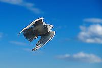 540750025 a captive gyrfalcon falco rusticolis a falconers raptor soars free against a blue sky in central colorado