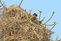 507100045 a wild male rose-throated becard pachypramphus algaiae perches on her spectacular nest on a private ranch in tamaulipas state mexico