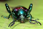 Frog Beetle, Sagara sp. SE Asia, green purple metallic colour, Close up showing mouthparts, eyes, antennae