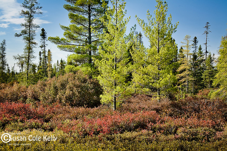 Caribou Bog in Autumn, Old Town, Penobscot County, ME, USA