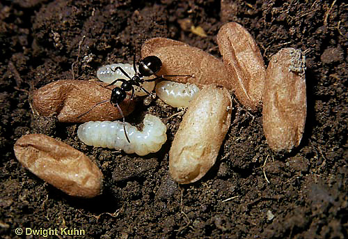 AN02-001z  Ant - with larvae and cocoons
