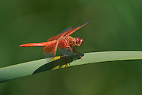 389310022 a wild male flame skimmer libellula saturata perches on a cattail reed along piru creek near frenchmans flat los angeles county california united states