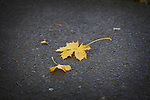 Autumn in Ireland, 2012: a pair of fallen yellow leaves rests on the pavement