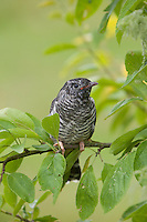 Kuckuck, flügger Jungvogel, Cuculus canorus, Cuckoo, Coucou gris