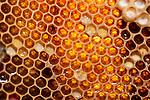 Honecomb cells containing honey within hive, Honey Bee, Apis mellifera, Kent UK