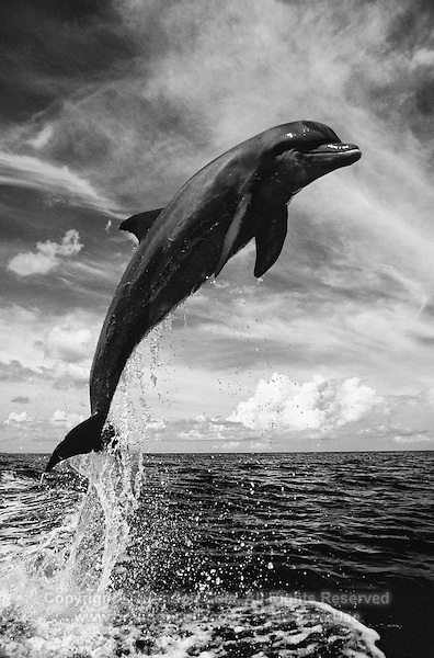 MT27. Bottlenose Dolphin (Tursiops truncatus) leaping. Roatan, Honduras, Caribbean Sea. Color photo converted to black and white..Photo Copyright © Brandon Cole.  All rights reserved worldwide.  www.brandoncole.com.